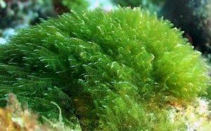 espirulina en alga