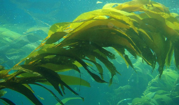 giant_kelp